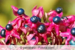 Losbaum-Früchte