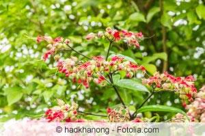 Losbaum-Pflanze