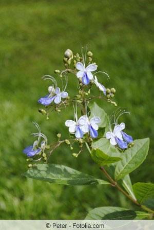 Losbaum-Blüten
