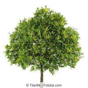 Blaseneschen-Baum
