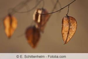 Blasenesche im Herbst