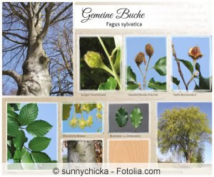 Gemeine Buche - Fagus sylvatica - Collage