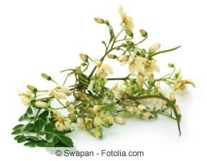Meerrettichbaum-Blüten