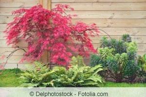 Schlitzahorn als Gartenpflanze