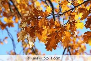 Herbstblätter der Stieleiche