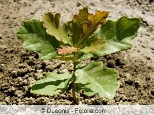 Jungpflanze der Stieleiche