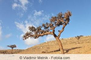 Weihrauchbaum in karger Landschaft