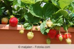 Erdbeeren auf dem Balkon anbauen