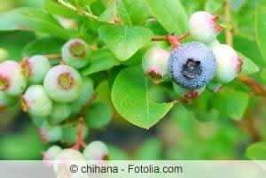 Heidelbeerenpflanze