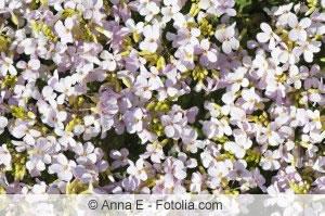 Blütenmeer aus Gaensekresse