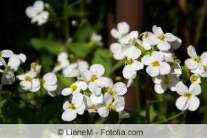 Blüten der Gaensekresse