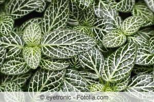 Fittonia-Blättermeer