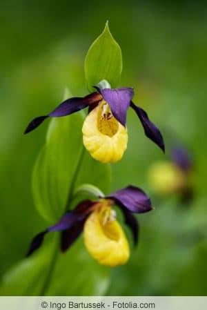 Blüten der Frauenschuh-Orchidee