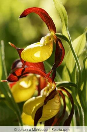 Rote Blütenblätter der Frauenschuh-Orchidee