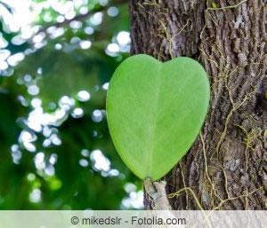 Herzblatt der Hoya Kerrii