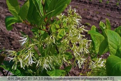 Schneeflockenstrauch - Giftesche - Chionanthus virginicus