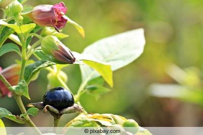 Schwarze Tollkirsche - Atropa belladonna