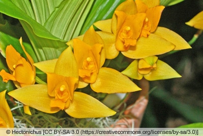 Lycaste aromatica - Orchidee