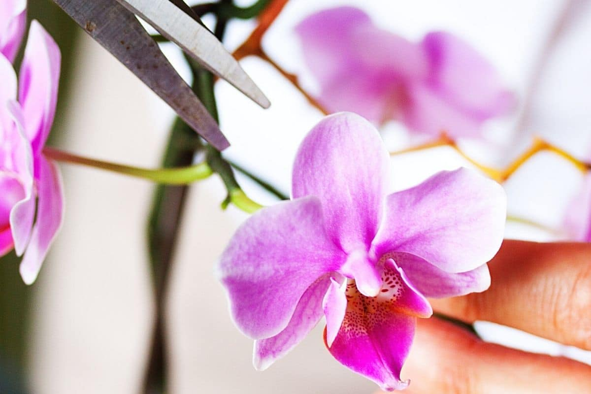 Orchideenblüte schneiden