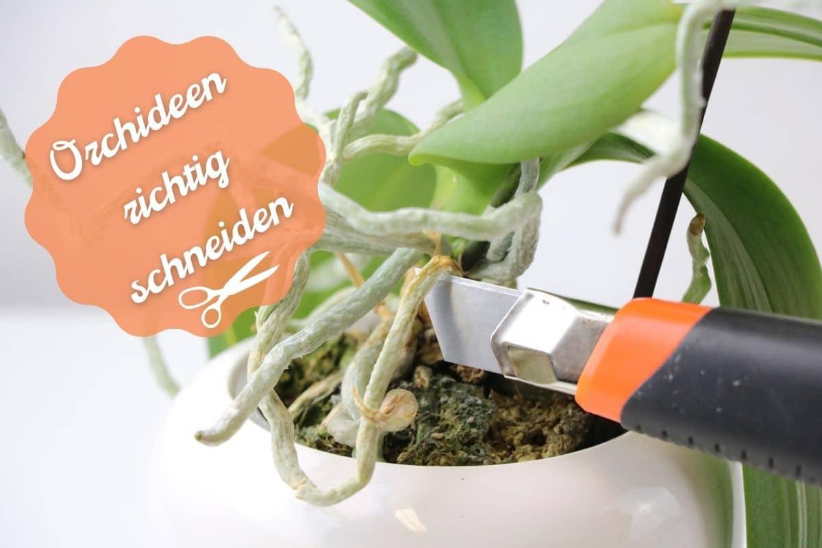 Orchideen richtig schneiden - darf man Luftwurzeln