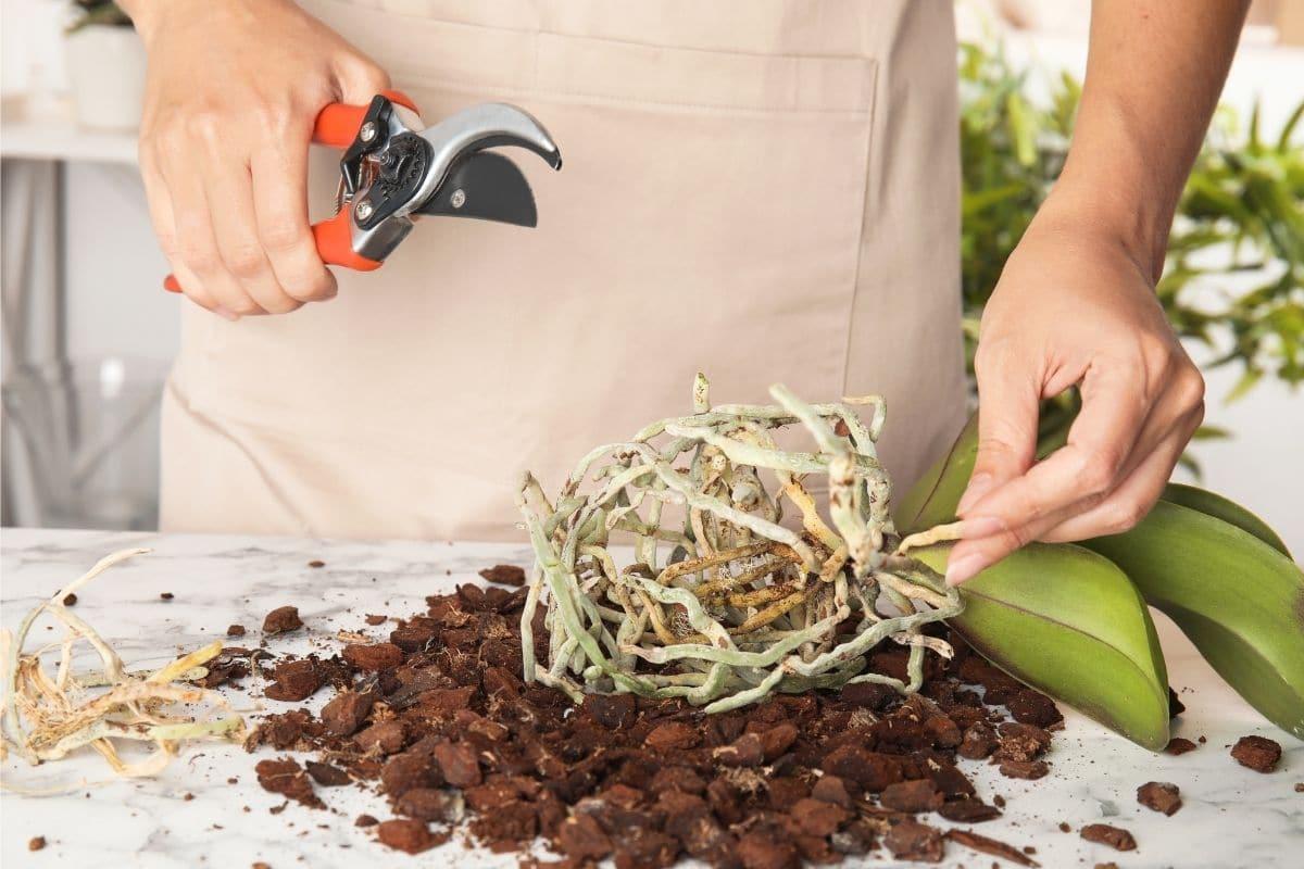 Orchideen schneiden beim Umtopfen