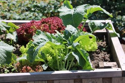 Gemüse-Mischkultur im Hochbeet
