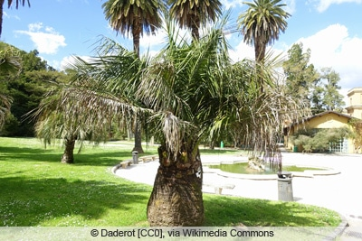 Honigpalme - Jubaea chilensis