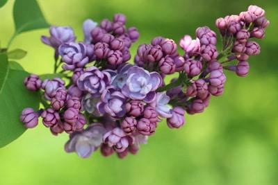 Edelflieder - Syringa vulgaris 'Michael Buchner'