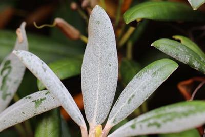 Rhododendron mit Mehltau