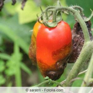 Tomatenkrankheit