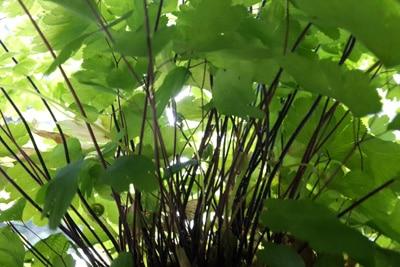 Frauenhaarfarn - Adiantum capillus-veneris