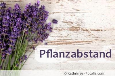 lavendel pflanzabstand 89571598