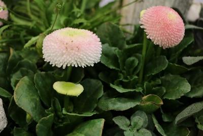 Gänseblümchen - Pellis