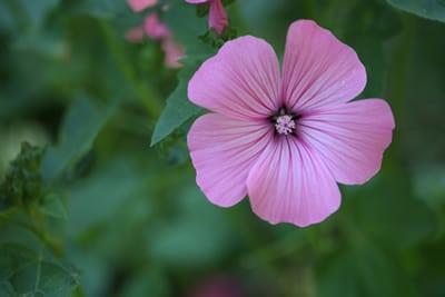 Blüte einer Bechermalve