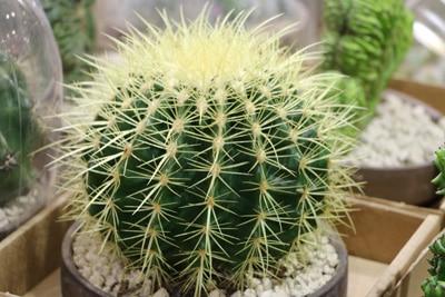 Echinocactus grusonii - Goldkugelkaktus