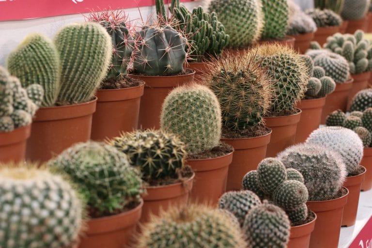 50 Kakteensamen Gattung Echinopsis viele Arten