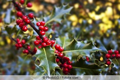 Früchte der Stechpalme - Vorsicht giftig!