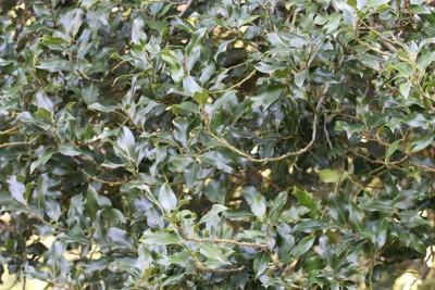 Stechpalme - Ilex aquifolium