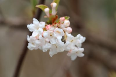 Duftschneeball - Viburnum farreri