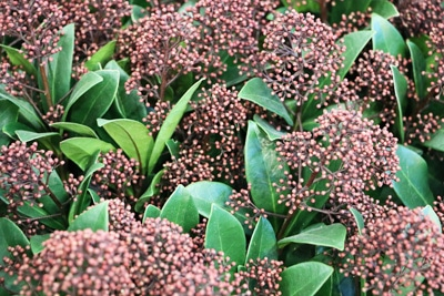 Lorbeerblättriger Schneeball - Viburnum tinus