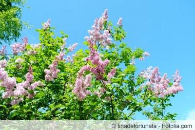 Fliederbaum mit Blüten lila