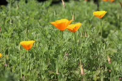 Kalifornischer Mohn - Goldmohn - Eschscholzia californica