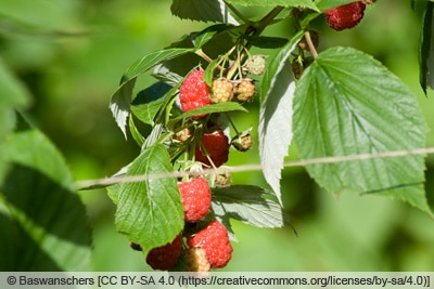 Rubus idaeus 'Aroma Queen'