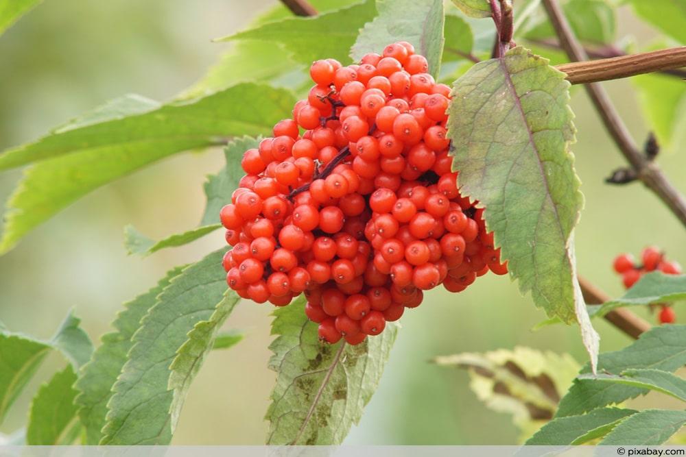 Roter Holunder - Sambucus racemosa