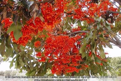 Feuerradbaum - Stenocarpus sinuatus
