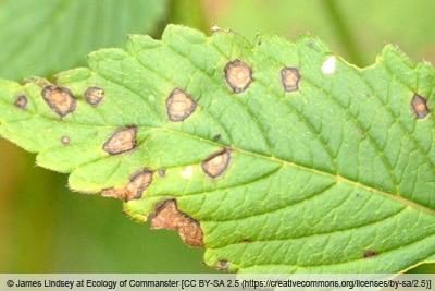 Blattfleckenkrankheit - Ascochyta galeopsidis
