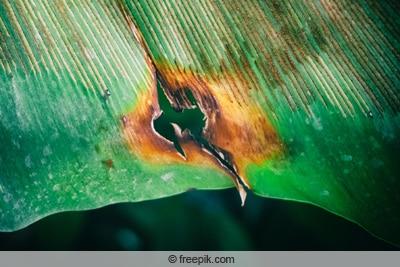 Nestfarn mit braunen Flecken