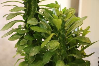 Dreikantige Wolfsmilch - Euphorbia trigona
