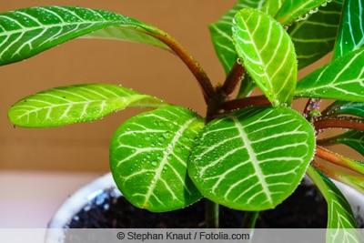 Spuckpalme mit nassen Blättern