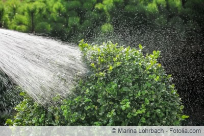 Buxus sempervirens giessen